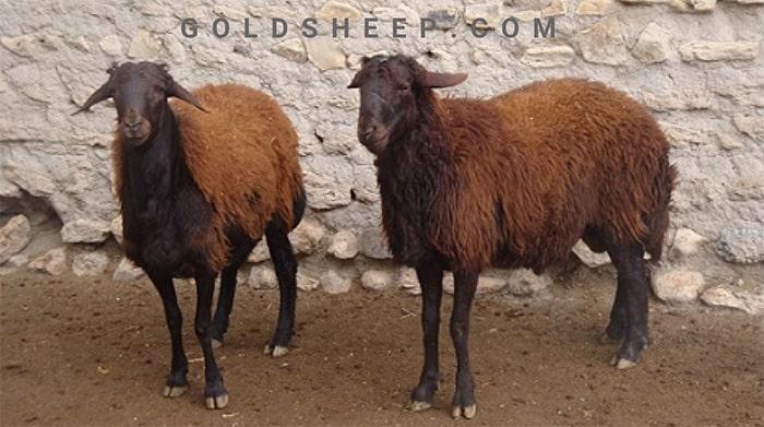 قیمت روز گوسفند زنده